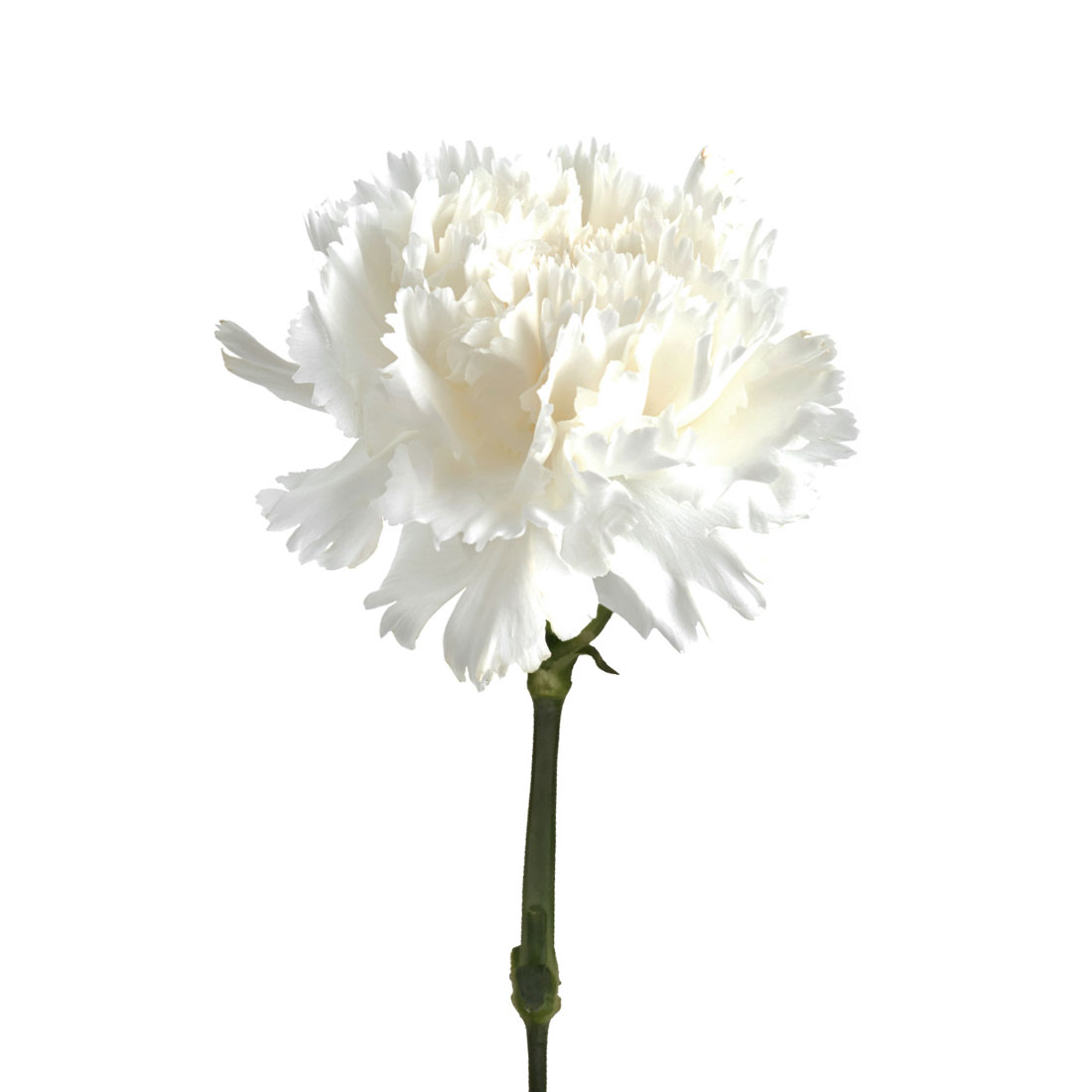 Carnation White Charlotte Flower Market