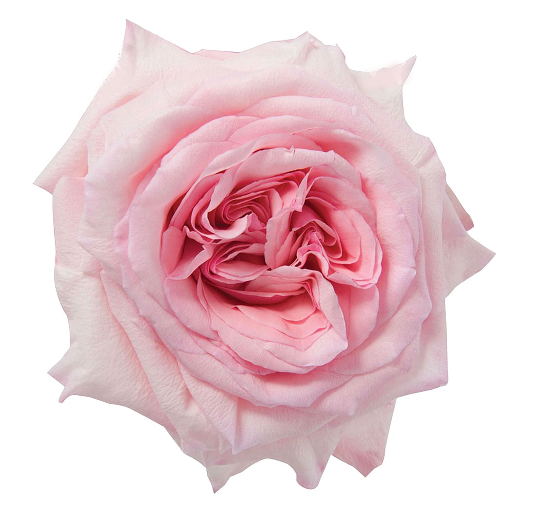 Genial Garden Rose, Light Pink Ou0027Hara